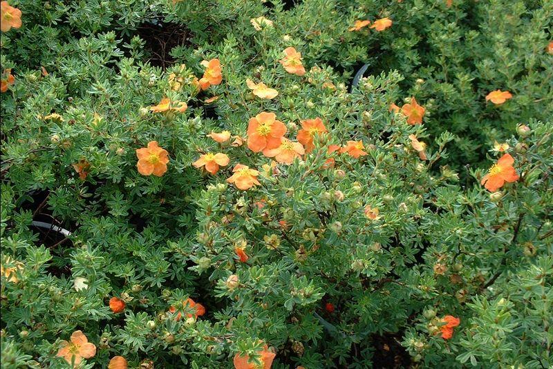 лапчатка кустарниковая фото в саду