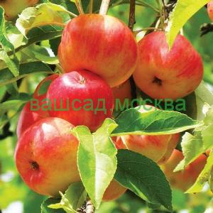 Яблоня плодовая/Malus
