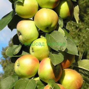 Яблоня/Malus Колоновидная