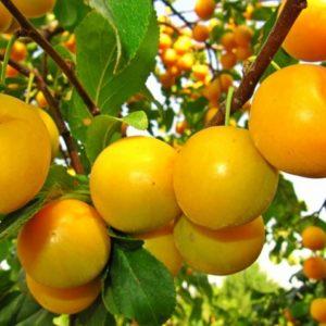 Алыча/Prunus cerasifera