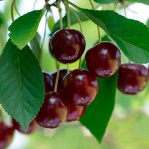 Вишня/Prunus Cerasus