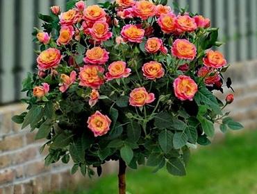 Розы (Штамбовые формы)