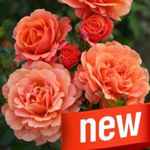 Розы Кордеса: Kordes Rosen (Parfuma NEW 2018)