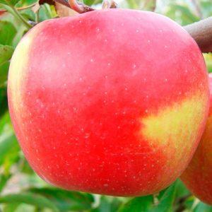Яблони крупномеры