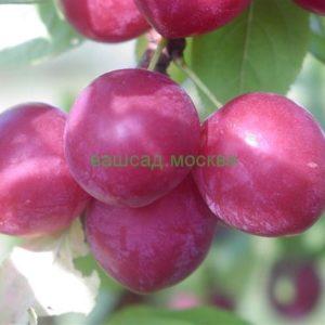 Слива/Prunus