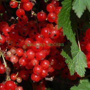 Смородина Красная/Ribes rubrum