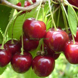 Черешня/Prunus avium