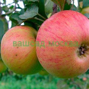Яблоня плодовая