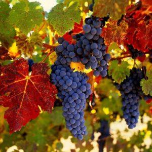 Виноград Vitis