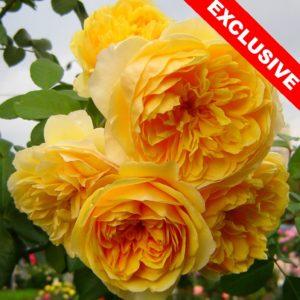 Розы английских сортов (DAVID AUSTIN ROZEN ®) EXCLUSIVE