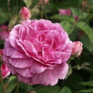 Исторические розы