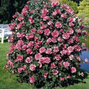 Кустовые розы (шрабы)