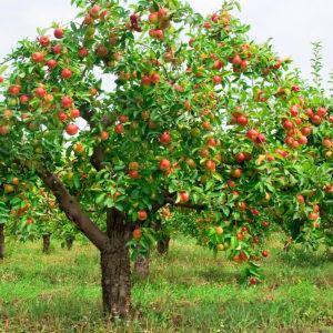 Плодовые крупномеры