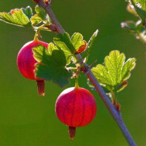Крыжовник 'Grossulariaceae'
