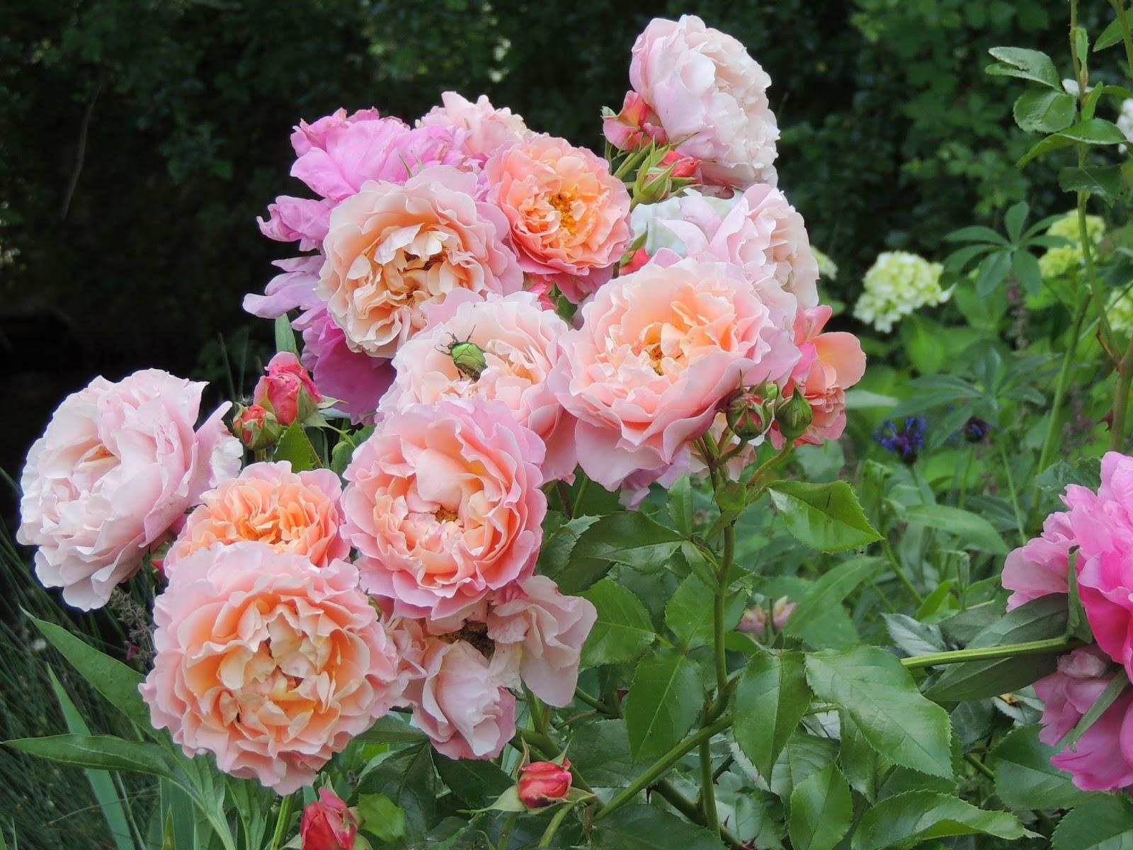 Роза де толбиак от кордеса фото
