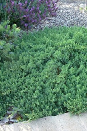 juniperus_blue_pacific18-600x600